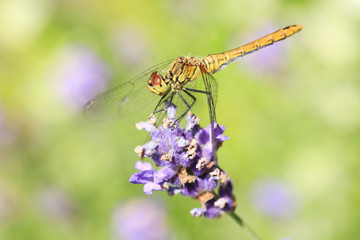 Dragonfly on Lavender flower / Macro photography of awesome natural insect and plant live scenics