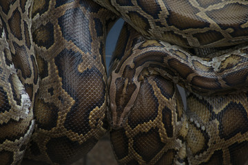 Background photo of python snake skin in dark tone.