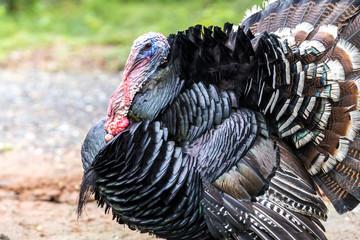 Asian animal turkey