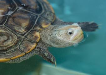 terrapin turtle swims to you