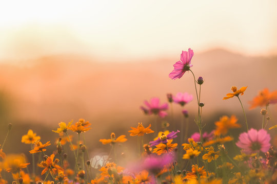Cosmos colorful flower in the field. Photo toned style Instagram filters. Nature background.