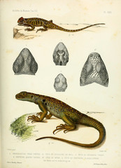 Illustration of a lizard.
