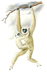 Illustration of monkey