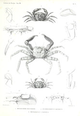 Illustration of a crab.