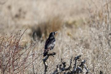 Corneja negra. Corvus corone.