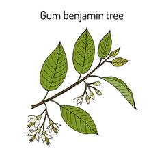Gum benjamin tree Styrax benzoin , medicinal plant