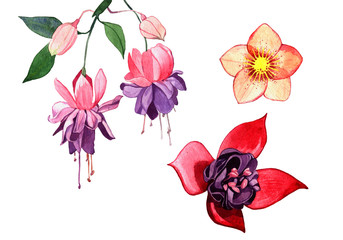 watercolor spring flower illustration isolated on white background. 