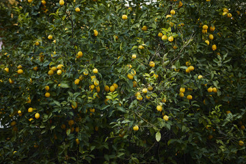 lemon tree with ripe lemons