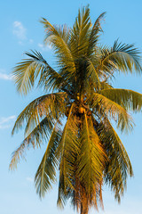 View of a coconut palm tree against a blue sky, Luang Prabang, Laos. Vertical.