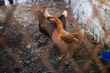 Wild chickens in the farm