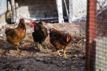 Wild chickens in the farm