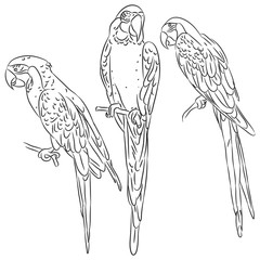 macaw set black sketch isolated on white background. Vector