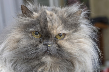 Persian cat with teary eyes and snotty nose close up