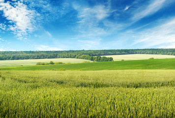 Wall Mural - Beautiful blue sky over wheat field.