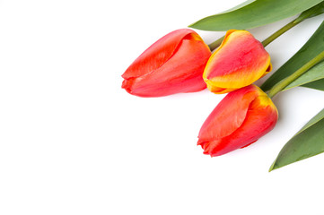 Red tulips isolated on white background
