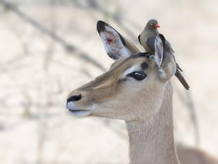 Oxpecker with Impala ewe