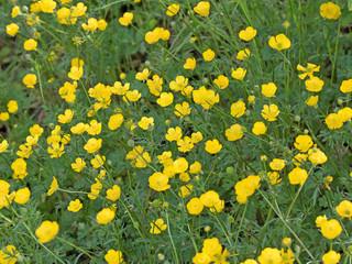 Butterblumen, Scharfer Hahnenfuß, Ranunculus acris