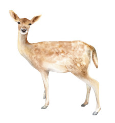Female deer. Watercolor element for the design of wedding invitations, posters, illustrations. Isolated object.