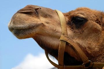 Camel face closeup