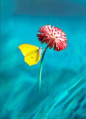 Beautiful yellow butterfly on bright pink magenta flower daisy macro on blue background in spring. Amazing colorful unusual artistic image of the beauty of living nature.