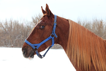 Art portrait of beautiful breed sportive horse at white winter background