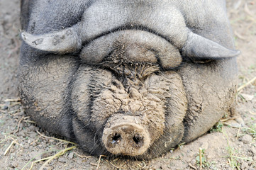 The fattened fat pig of the Vietnamese breed is visibly invisible. The concept of home breeding pigs.