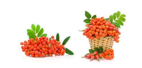 berries of red mountain ash and dog rose on white background