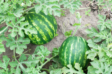 Two watermelons in a garden