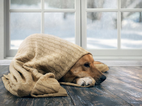 Funny dog wrapped in a warm blanket. Outside the window snow, winter