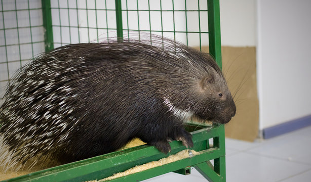 Big porcupine in a cage