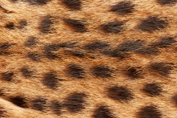 Wilde cat, serval fur texture. Close up soft focus natural background.