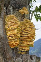 Schwefelporling an einem Baum - Gemeine Schwefelporling - gelb