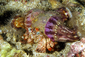 Anemone hermit crab (Dardanus pedunculatus), covered with three anemones. Malapascua island, Cebu Philippines