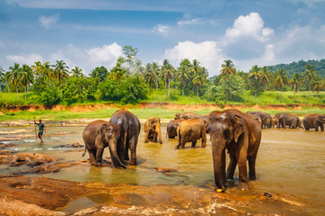 Pinnawala Elephant Orphanage. Little elephants bathing in the river, Sri Lanka
