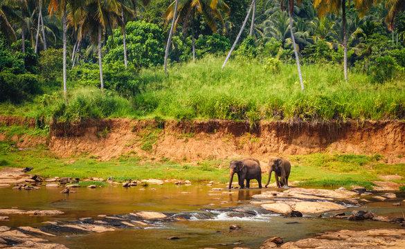 Two elephants walking in the river, Sri Lanka