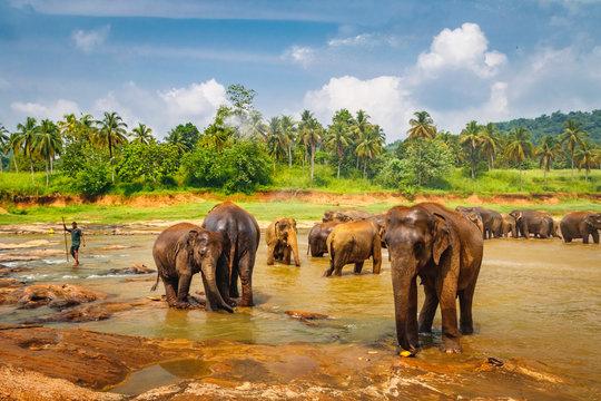 Pinnawala Elephant Orphanage. Little elephants bathing in the river, Sri Lanka