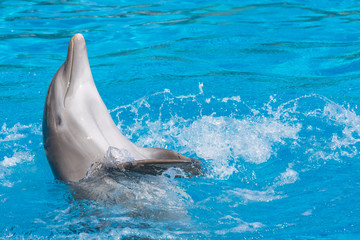 Smiling dolphin doing the backstroke. Blue water background.
