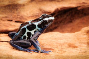 White poison dart frog, Dendrobates tinctorius oyapok, French Guyana. Macro of a poisonous Amazon rain forest animal.