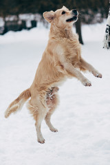 Photo of jumping labrador on winter walk