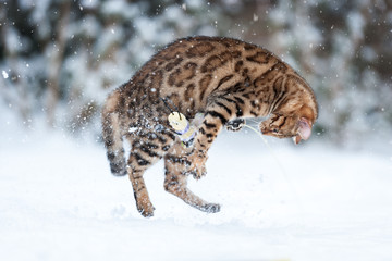 Bengal Snow Action