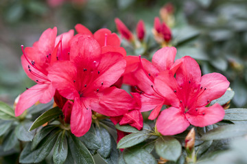 Spoed Fotobehang Azalea Brightly red azalea flowers close-up.