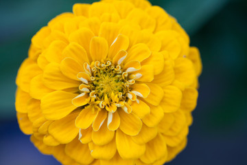 Zinnia flower macro view photography. Elegant yellow petals plant on blurred green background. Copy space, shallow depth of field