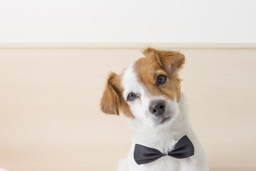 cute young small white dog wearing a black bowtie. Sitting on bed and looking at the camera.Home and lifestyle, Pets indoors