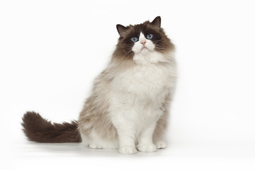 Fluffy beautiful white cat ragdoll with blue eyes posing while sitting on studio white background.