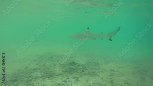 Baby blacktip reef sharks (Carcharhinus melanopterus