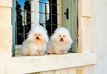 White Bichon Bolognese Dog