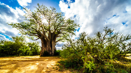 Keuken foto achterwand Baobab Sun shining through a Baobab Tree in Kruger National Park in South Africa