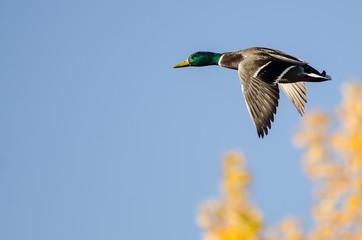 Male Mallard Duck Flying Past the Golden Autumn Trees