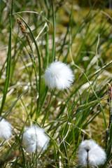 white soft cotton grass (Eriophorum scheuchzeri) growing in Greenland, Ilulissat