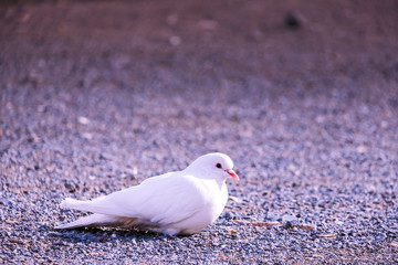 White dove sitting on the sand